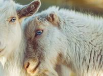 仲の良さそうな羊のカップル