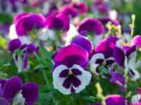 自由の花パンジー