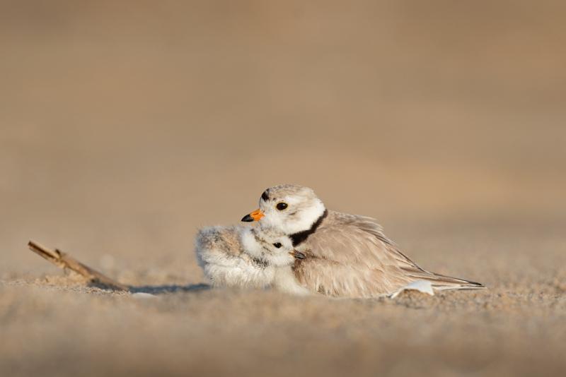 草原に身を寄せ合う小さな鳥の親子