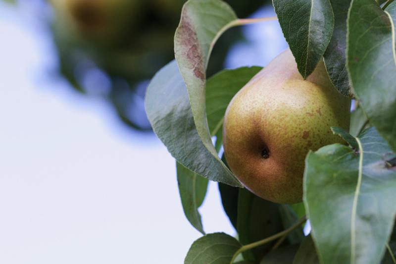 木に生っているフルーツ